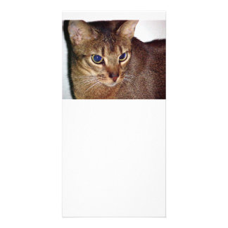 Abyssinian 2.png card