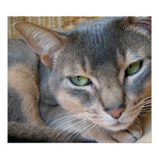 Abyssinian Cat Big Blue Green Eyes Poster