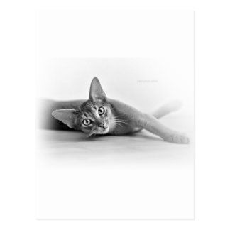 Abyssinian cat postcard