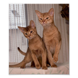 ABYSSINIAN CATS POSTER