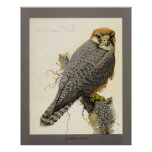 Abyssinian Lanner Poster