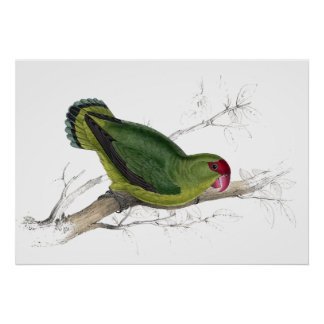 Abyssinian Parrakeet by Edward Lear Poster