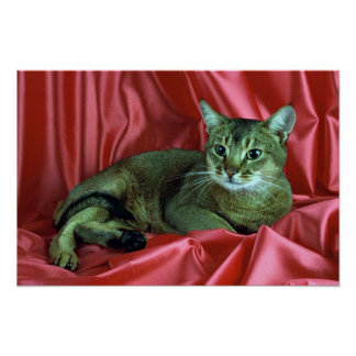 Abyssinian, usual print