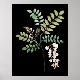 Acacia, black locus, wall botanical print
