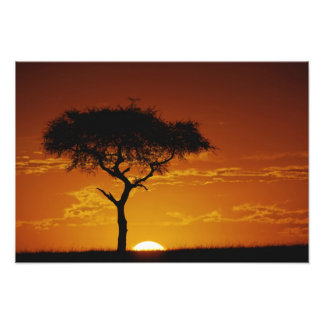 Acacia de la espina del paraguas, tortilis del aca arte fotografico