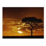 Acacia de la espina del paraguas, tortilis del aca tarjeta postal
