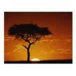 Acacia de la espina del paraguas, tortilis del aca postales