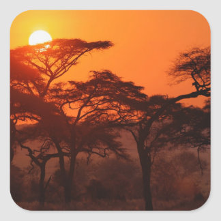 Acacia forest silhouetted at sunset, Tarangire Square Sticker