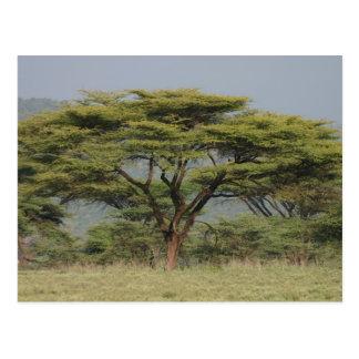 Acacia in the Samburu national park, Kenya, Africa Postcard