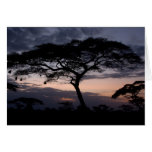 Acacia Trees Sunset Cards