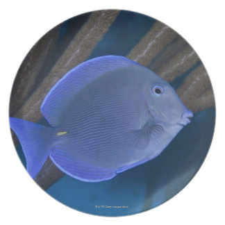 Acanthurus coeruleus with sea melamine plate