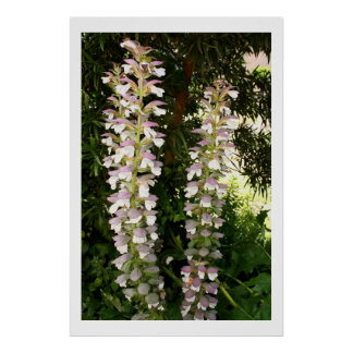 Acanthus Duo Poster