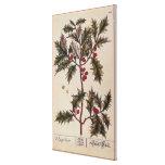 "Acebo ""de un herbario curioso"", 1782 impresión en lienzo estirada"