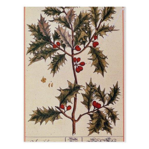 """Acebo """"de un herbario curioso"""", 1782 postales"""