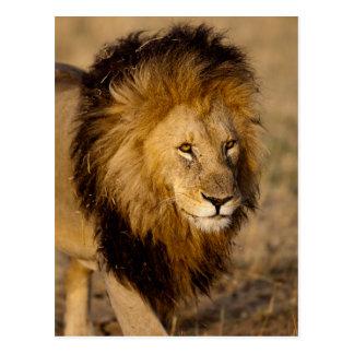 Acecho del león postales