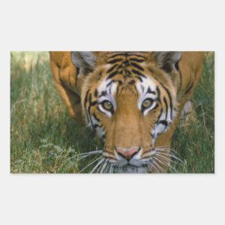 Acecho del tigre pegatina rectangular