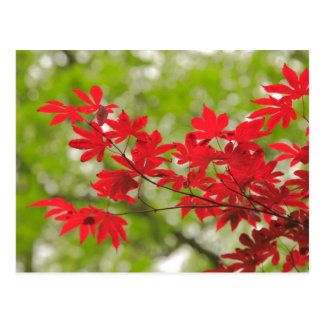Acer leaves postcard