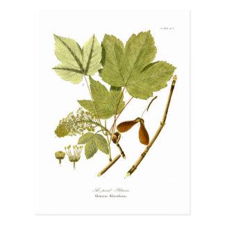 Acer pseudo-platanus postcard