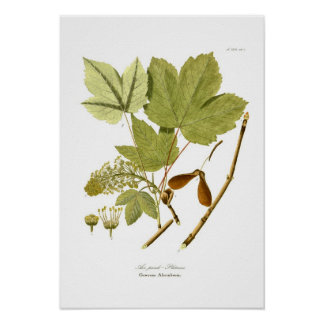 Acer pseudo-platanus poster
