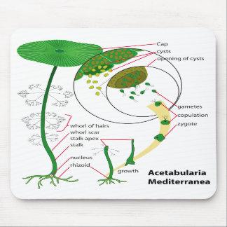 Acetabularia Mediterranea Life Cycle Diagram Mouse Pads