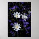 Achicoria y Wildflowers de Phacelia Impresiones