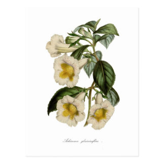 Achimenes gloxiniaeflora postcard
