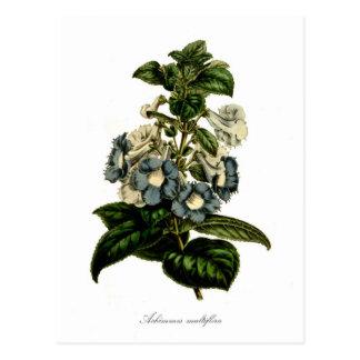 Achimenes multiflora postcard