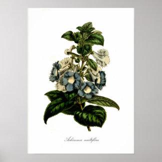 Achimenes multiflora poster
