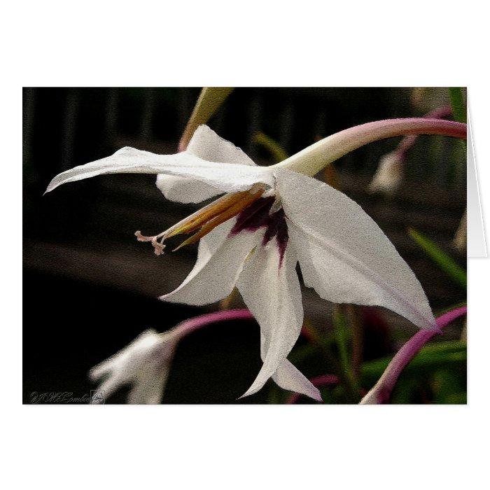 Acidanthera or Peacock Gladiolus Card