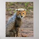 Acinonyx Jubatus de Cub del guepardo) como se ve e Póster