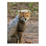 Acinonyx Jubatus de Cub del guepardo) como se ve Tarjeta Postal