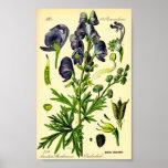 Acónito (napellus del Aconitum) Poster