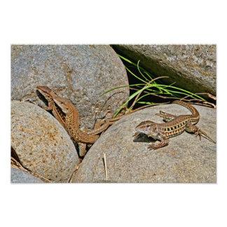 Acoplamiento de los lagartos arte fotografico