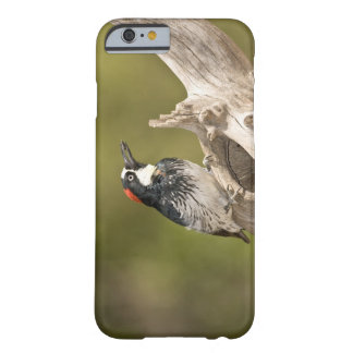 Acorn Woodpecker, Melanerpes formicivorus, South Barely There iPhone 6 Case