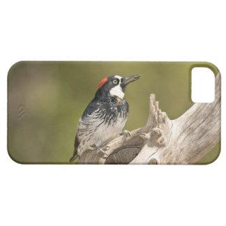 Acorn Woodpecker, Melanerpes formicivorus, South iPhone 5 Cover