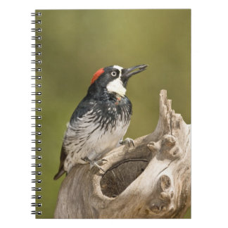 Acorn Woodpecker Melanerpes formicivorus South Spiral Note Book