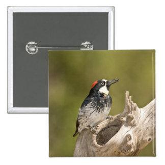 Acorn Woodpecker, Melanerpes formicivorus, South Pinback Button
