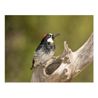 Acorn Woodpecker, Melanerpes formicivorus, South Postcard