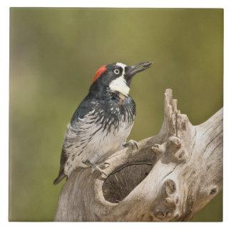 Acorn Woodpecker, Melanerpes formicivorus, South Tile