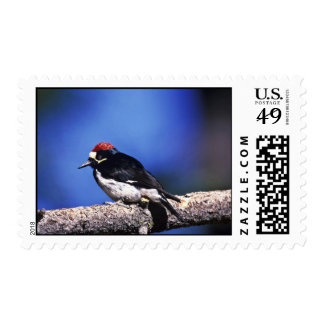 Acorn Woodpecker Postage Stamp