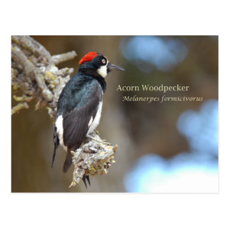 Acorn Woodpecker Postcard