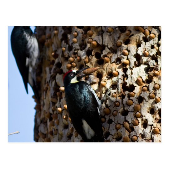 Acorn Woodpeckers Postcard