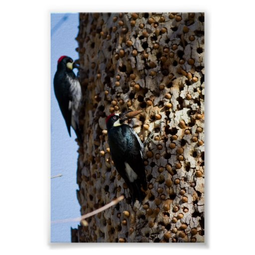 Acorn Woodpeckers Posters