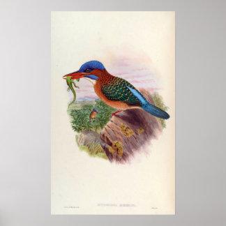 Actenoides Hombroni (Hombron's kingfisher) Poster