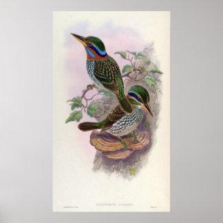 Actenoides Lindsayi (Lindsay's Kingfisher) Poster