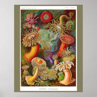 Actiniae (anemone) 22 x 28 custom poster
