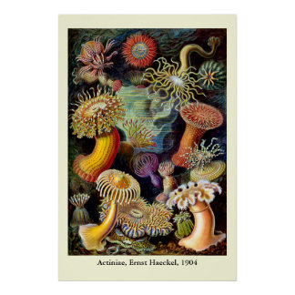 Actiniae by Ernst Haeckel Poster