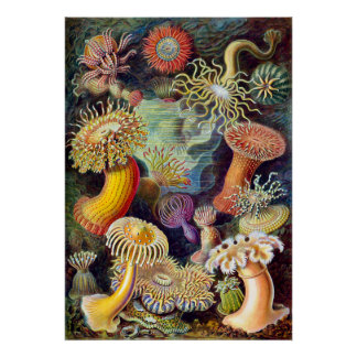 Actiniae illustration painting Germa Ernst Haeckel Posters