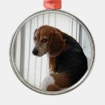 actitud del beagle ornatos
