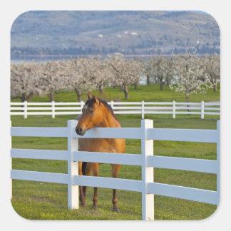 Actitudes del caballo por la huerta de cereza de pegatina cuadrada